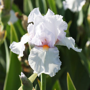 Single Lupita's Pride Bearded Iris Flower