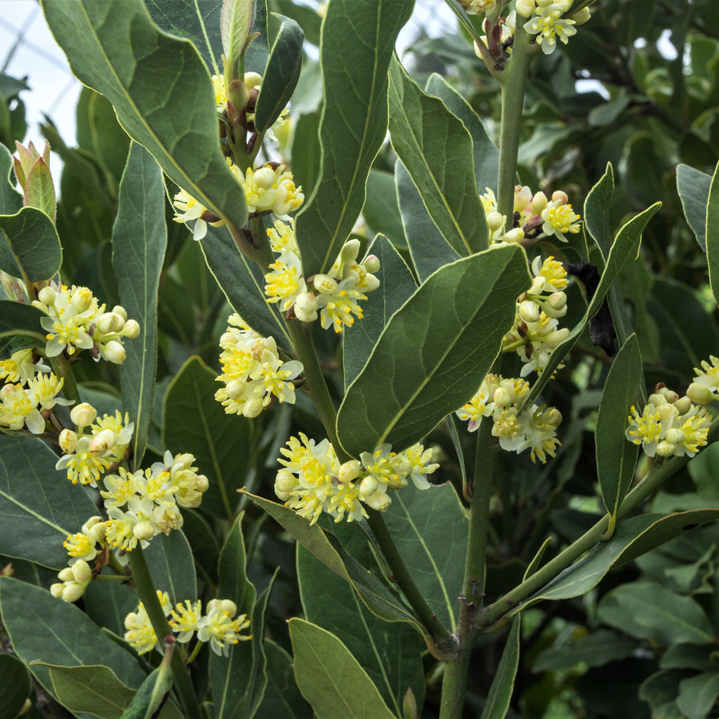 Bay Laurel (Sweet Bay)