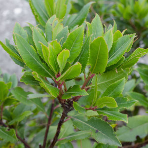 Bay Laurel plants for sale