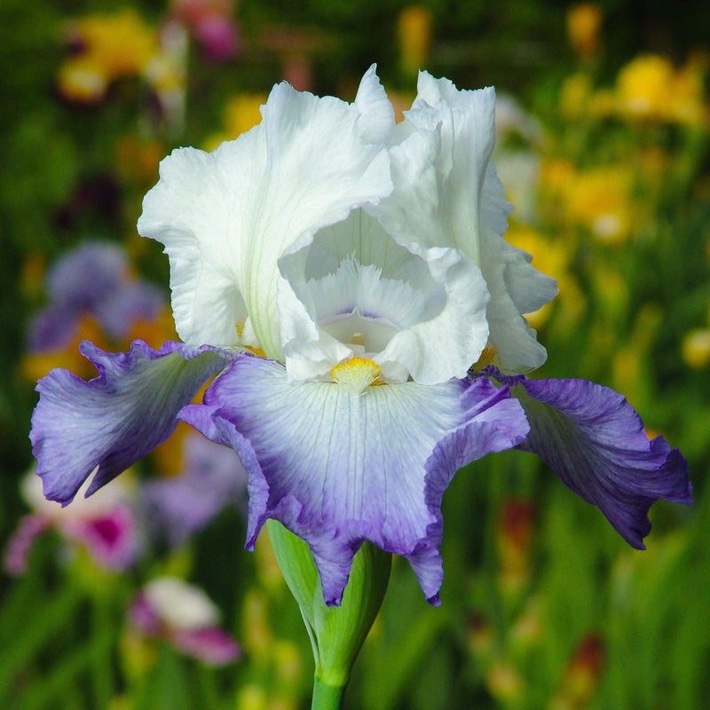 Reblooming Bearded Iris Clarence (Fragrant)