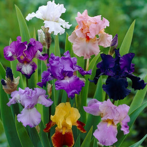 Reblooming Bearded Iris Colorful Cocktail Mix