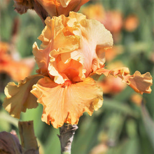 Cordoba Reblooming Bearded Iris