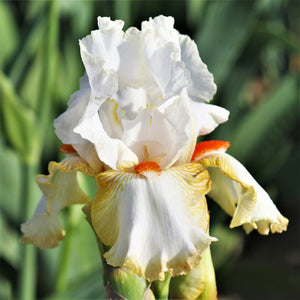Reblooming Bearded Iris Halloween Halo (Fragrant)