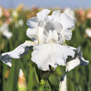Reblooming Bearded Iris Immortality
