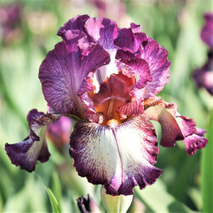 Burgundy and Cream Reblooming Bearded Iris Innocent Star