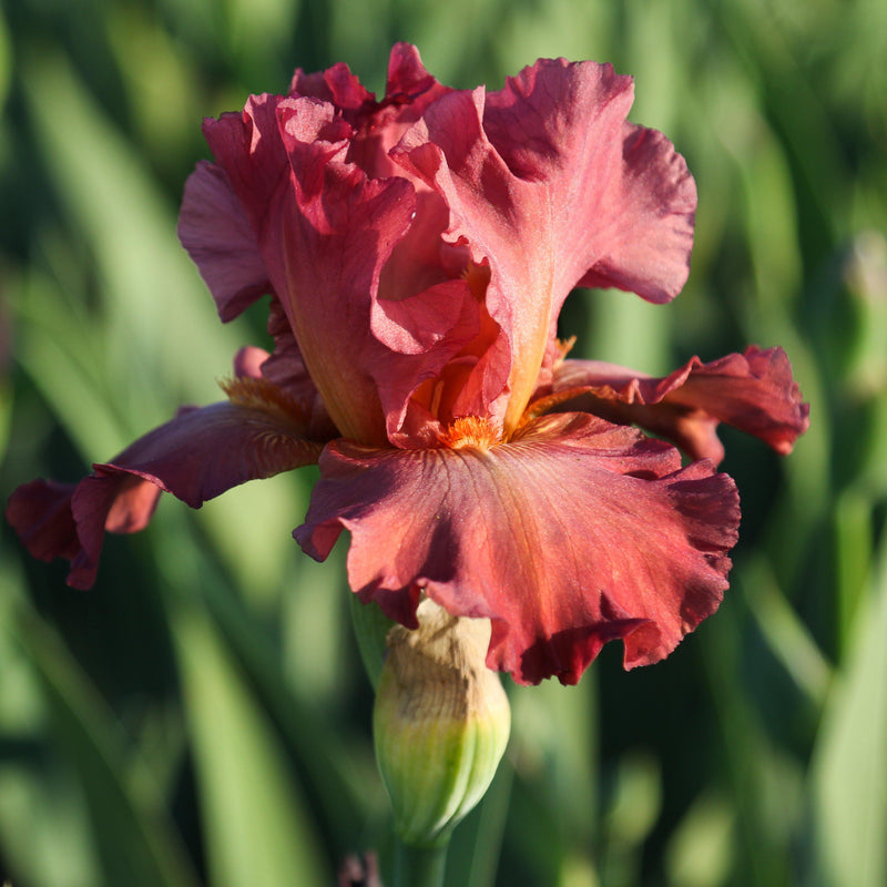 Side View of Reblooming Bearded Iris Lady Friend