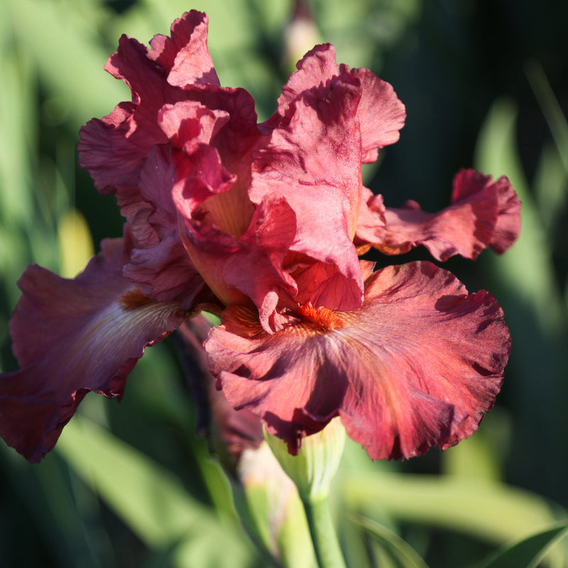Top view of reblooming iris Lady Friend