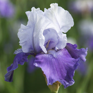 Reblooming Bearded Iris Mariposa Skies (Fragrant)