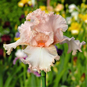 Peach Reblooming Bearded Iris October Splendor