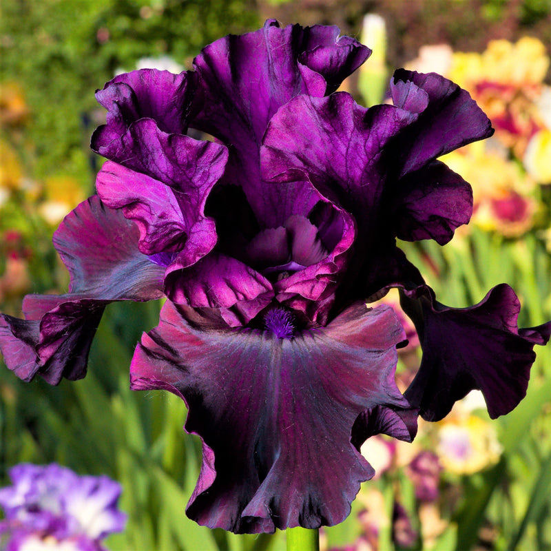 Dark Purple Reblooming Bearded Iris Ozark Rebounder