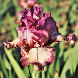 Reblooming Bearded Iris Rockstar