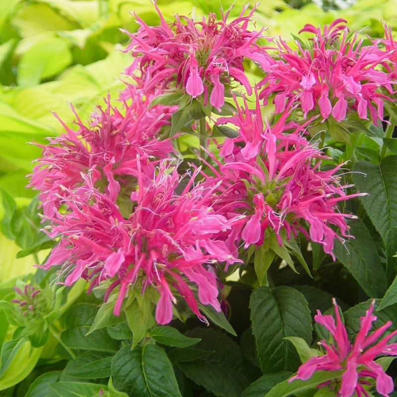 Bee Balm Coral Reef