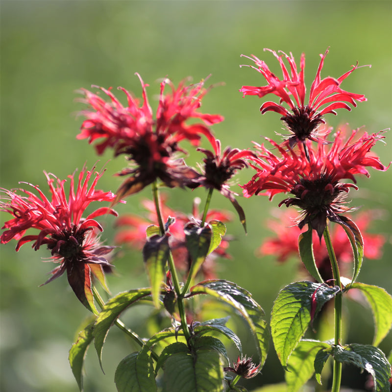 Bee Balm Fireball