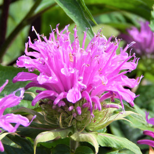 Bee Balm Didyma Grand Mum