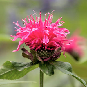 products/Bee_Balm_Pink_Lace.SHUT.jpg