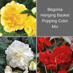 Hanging Begonia Basket Popping Color Mix