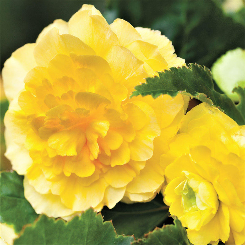 SIngle Yellow Sunny Day Begonia