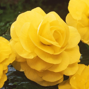 products/Begonia_Roseform_Yellow_257_sq_300_GS_jpg.jpg