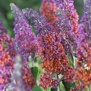 products/Bicolor_Buddleia.VP.jpg
