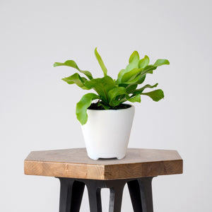 Bird's Nest Fern in a White Ceramic Pot