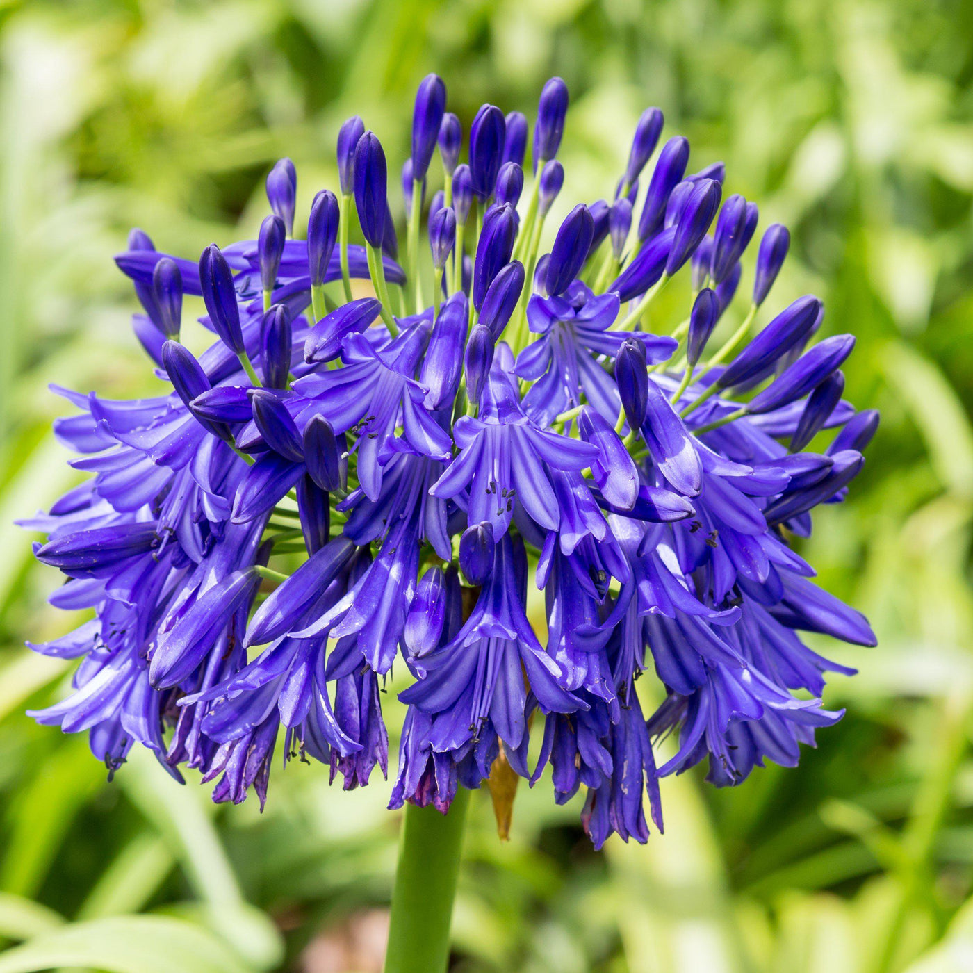 Agapanthus black buddhist blue lily of the nile bulb easy to agapanthus black buddhist izmirmasajfo