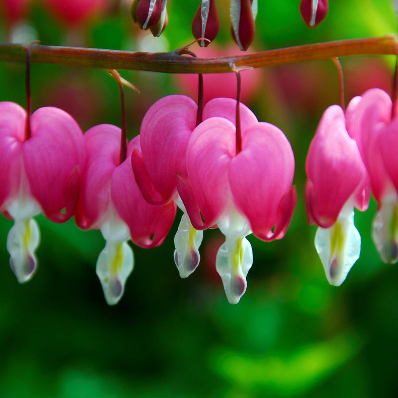 Closeup of pink bleeding heart flowers