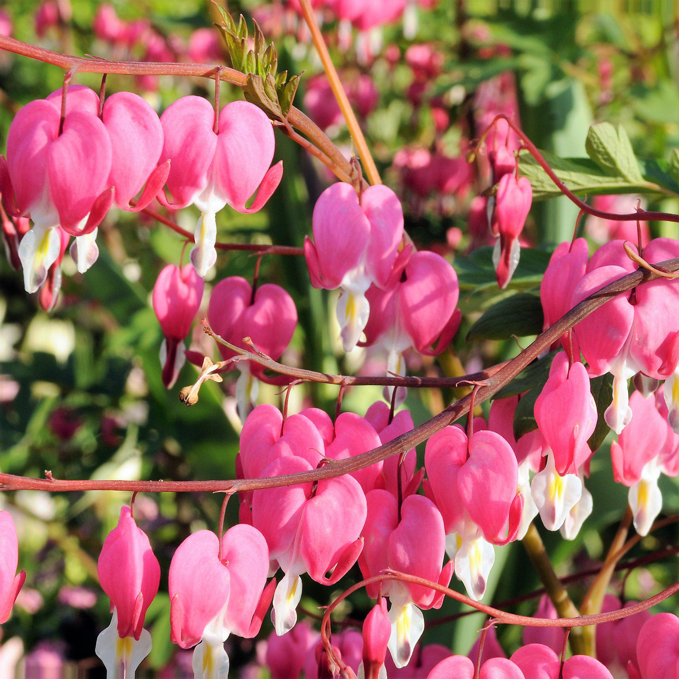 Bleeding hearts pink lady in the bath dicentra spectabilis bleeding hearts pink dicentra izmirmasajfo