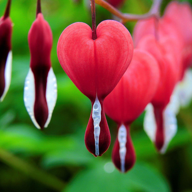 Dicentra Valentine for Sale