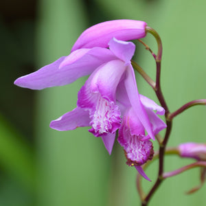 Hardy orchid purple flower