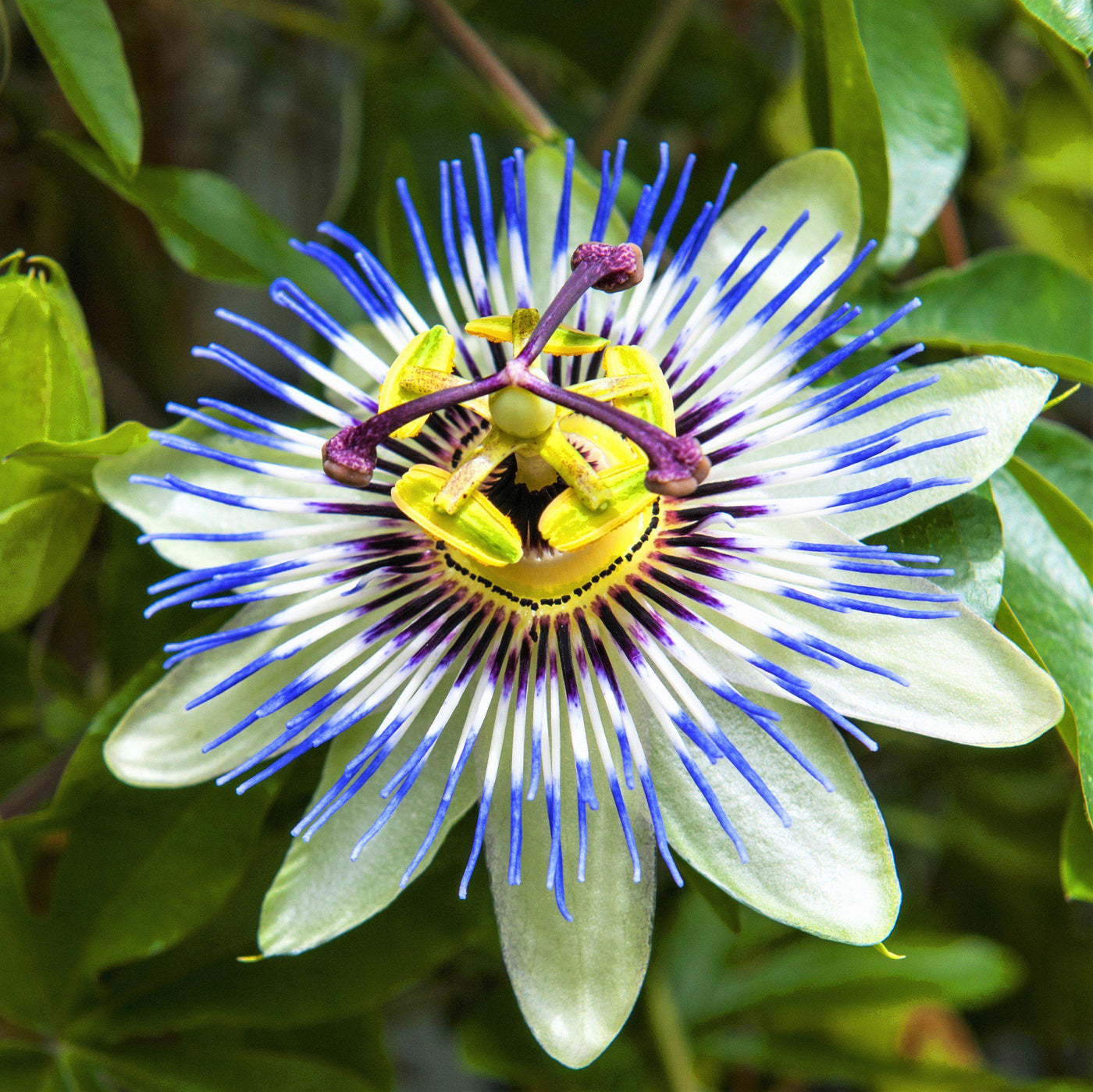 Passion flower passiflora blue crown blue passiflora vine easy passion flower passiflora blue crown izmirmasajfo