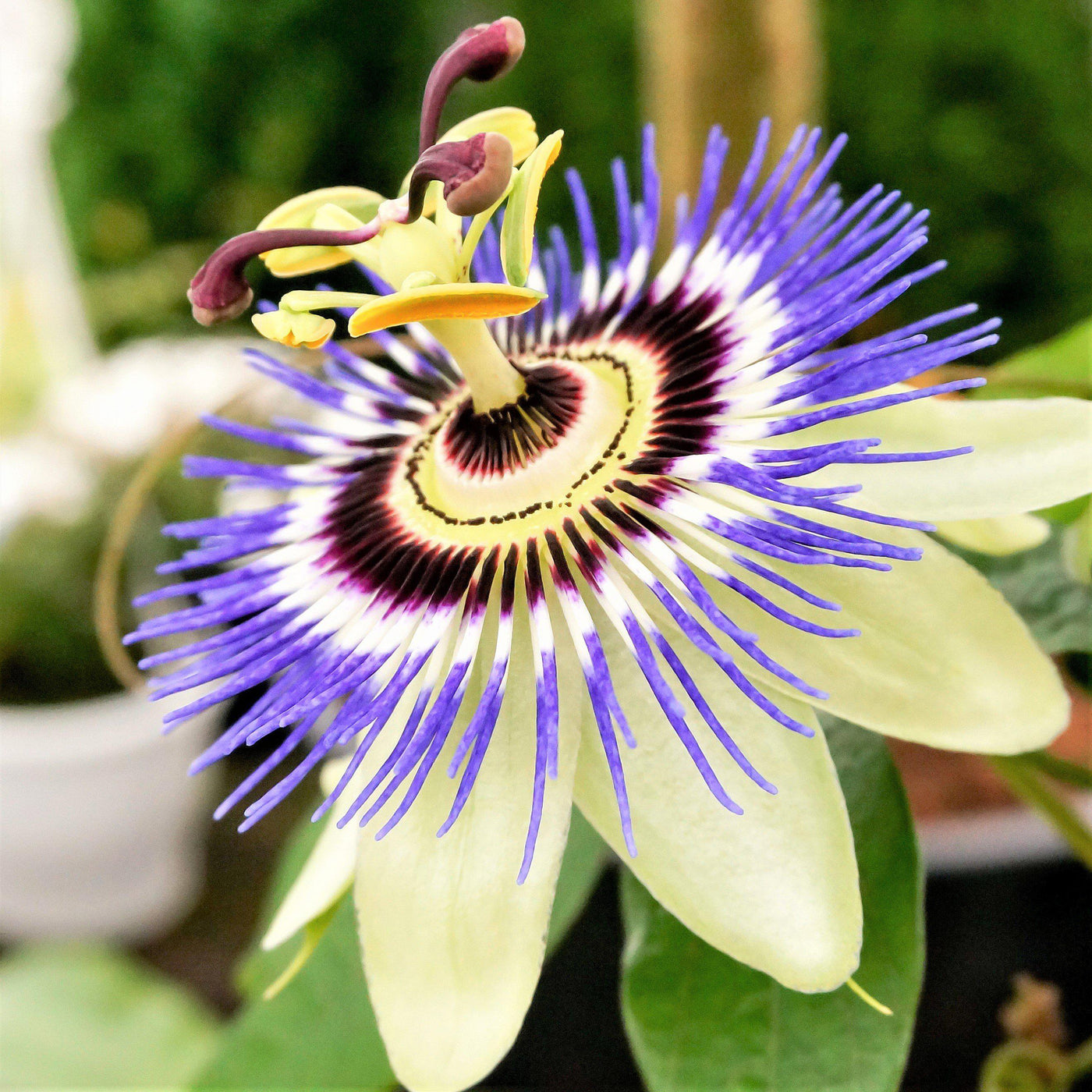 Passion Flower Blue Bouquet Easy To Grow Bulbs