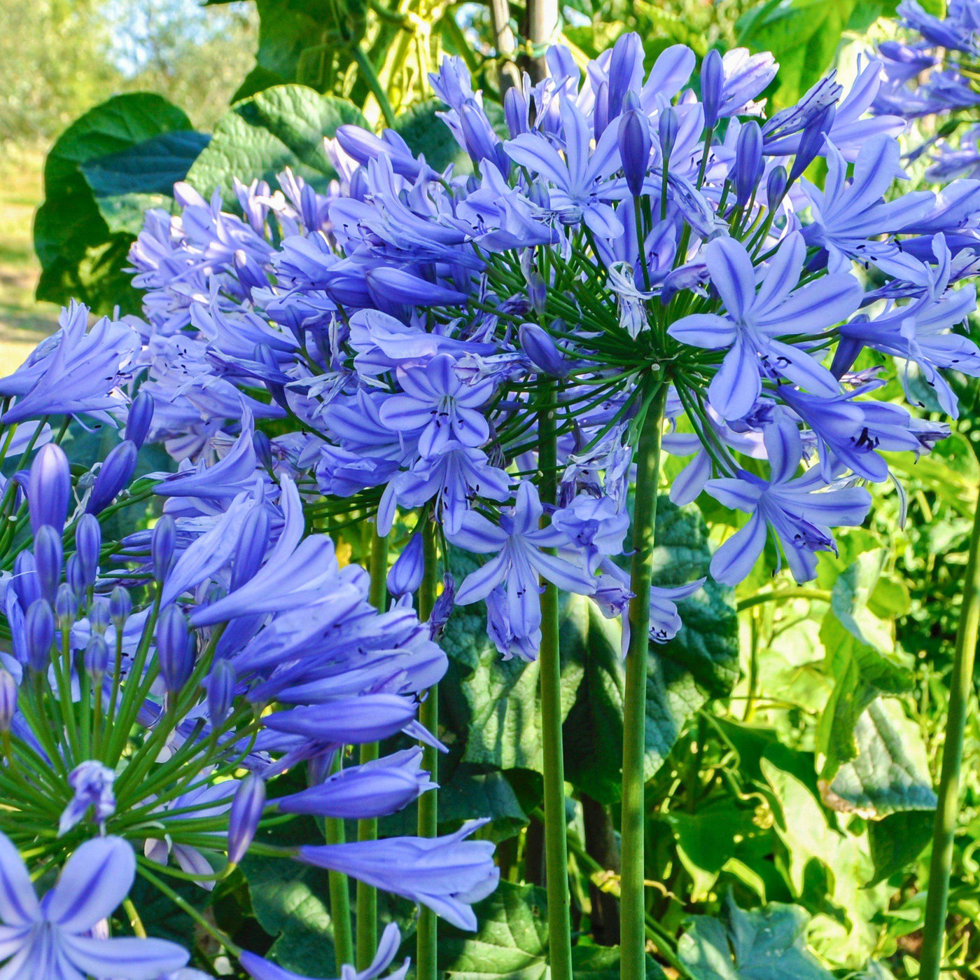 Agapanthus blue triumphator blue lily of the nile bulb easy to agapanthus blue triumphator izmirmasajfo