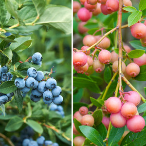 blue and pink blueberries