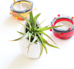 Tillandsia Air Plant Egg Gift