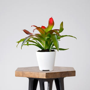 Brightly colored Bromeliad Medusa in a ceramic pot on a stool