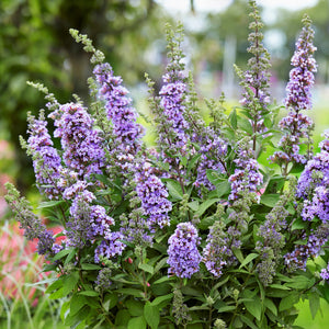 products/Buddleia_High_Five_Purple.SQ.GC.jpg