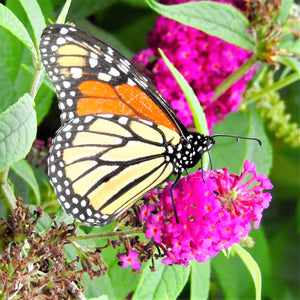 Butterfly Bush Buzz Hot Raspberry