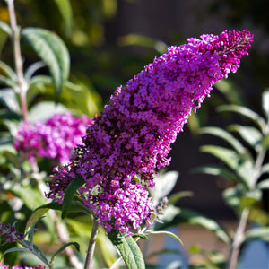 Butterfly Bush Buzz™ Magenta