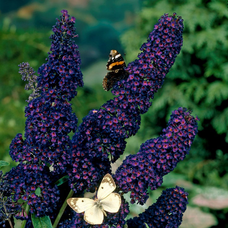 Butterfly Bush Black Knight