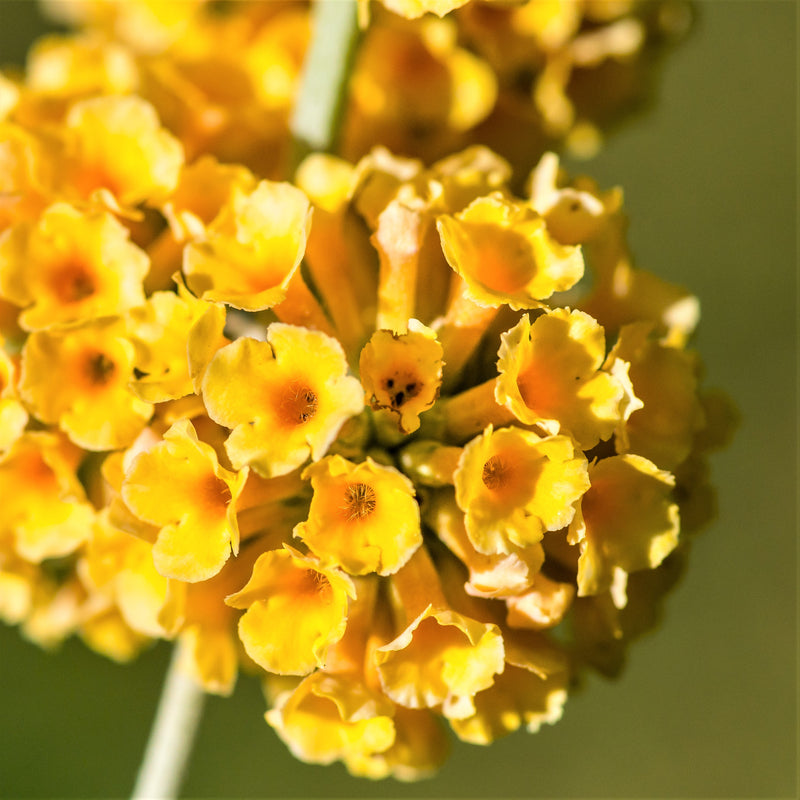 Butterfly Bush Golden Glow