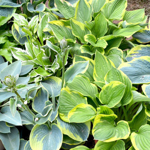 Hosta Made in the Shade Collection