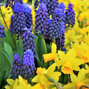 Petite Gems, Narcissus and Muscari