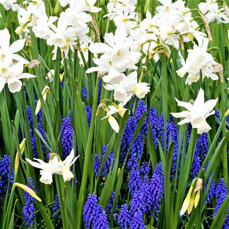 Serenity, Muscari and Narcissus