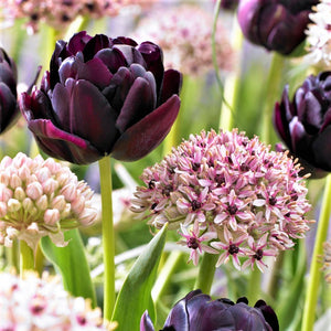 Beauty & Sparkle - Allium and Tulip Blend