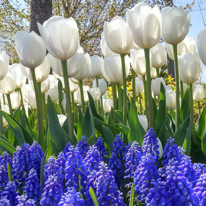 Blueberries and Cream, Muscari and Tulip