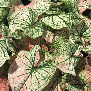 products/Caladium_Debutante__with_sun_exposure_square.CC.jpg