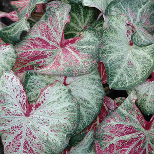 products/Caladium_Peppermint__square.CC.jpg