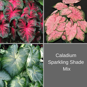 Caladium Sparkling Shade Mix