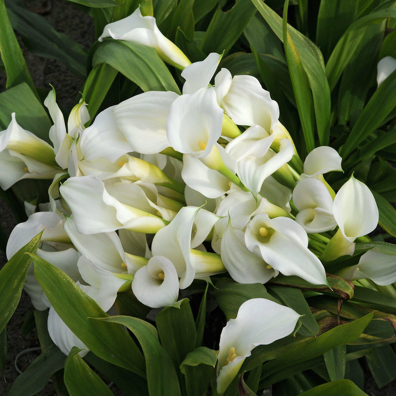 Best white calla flowers for sale