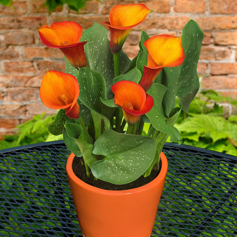 Orange and yellow calla lilies for sale